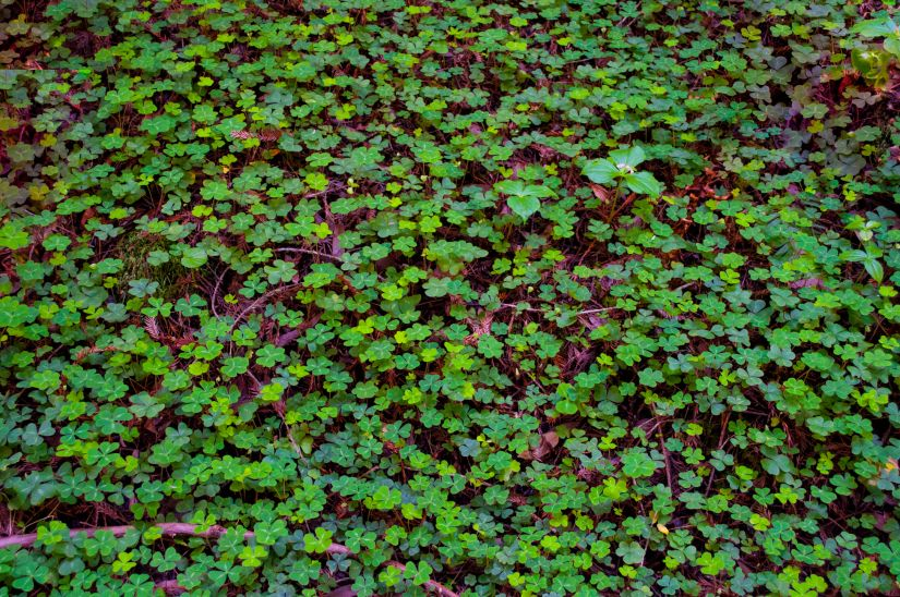 Beautiful clover covered California Red Wood Forest