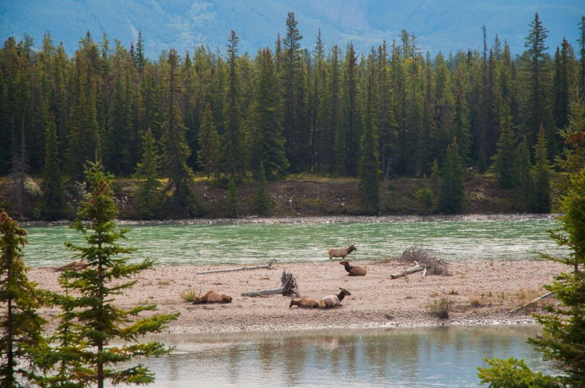 Elk resting on the Athabasca River outside of Jasper, Alberta